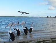 Paddling Pelicans