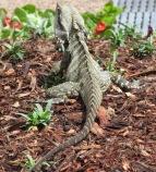 A Lizard in the Garden
