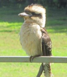 kookaburra - 1