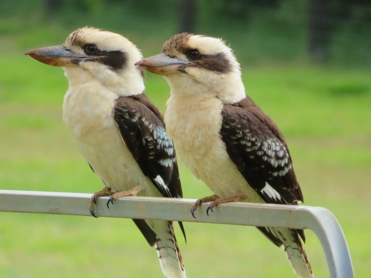 kookaburras - 1