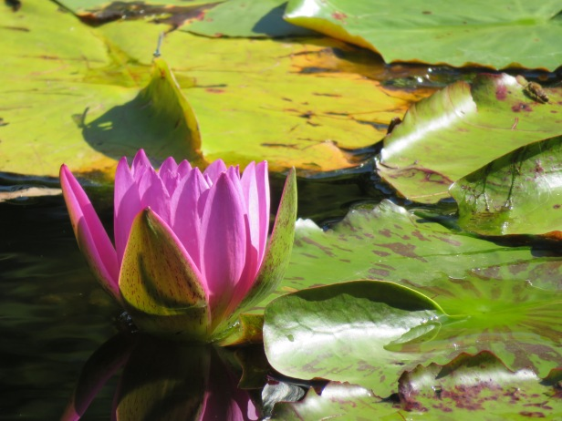 water lily - 1