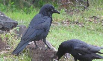 ravens - 1