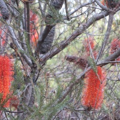 bottlebrush - 1 (2)