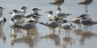 terns and sandpipers